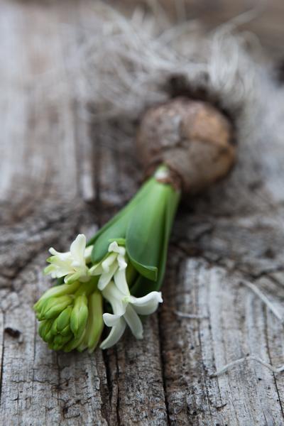 vit hyacint-2