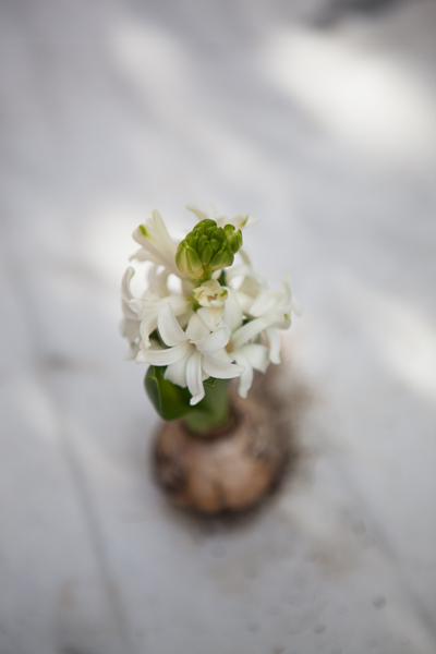 vit hyacint-3