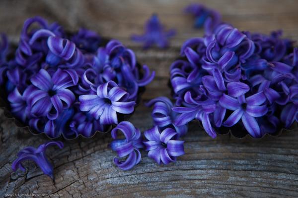 bla hyacint-3