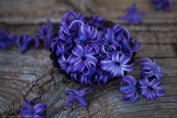 bla hyacint-4