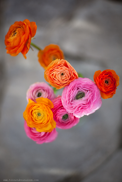 rosaorange ranunkler-2