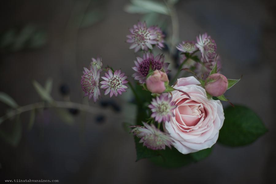 rosarosochastrantia-2