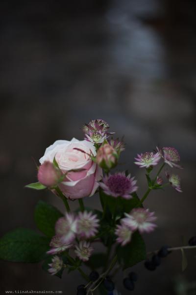 rosarosochastrantia-4