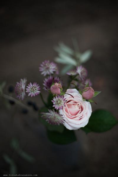 rosarosochastrantia-5