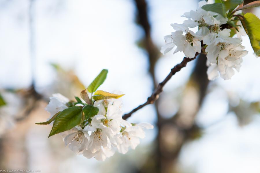 blomning-2